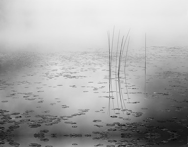 Bulrush at Dawn B&W