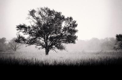 Armand Bayou Tree (Houston TX)