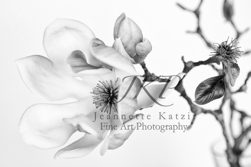 Chinese Magnolia blossom, in black and white