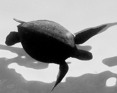 Endangered green sea turtle, chelonia mydas, Big Island, Hawaii, Pacific