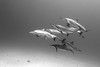 Spinner dolphins, Stenella longirostris, Honokohau Harbor, Big Island, Hawaii, Pacific