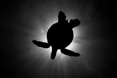 A green sea turtle, chelonia midas, silhouette in the clear blue water of the Big Island, Hawaii, Pacific