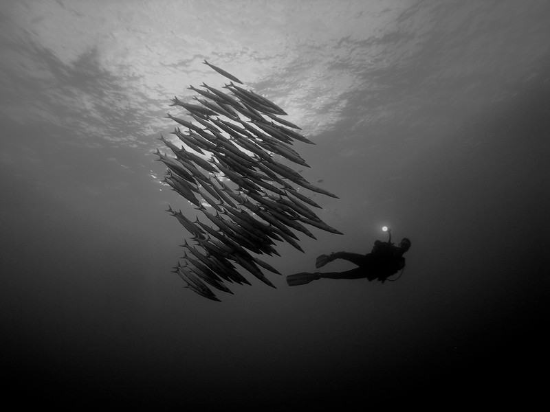 Heller's barracuda, sphyraena helleri, form a tight school while being videotaped by a diver, Big Island, Hawaii, Pacific