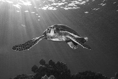 Green Sea Turtle, Chelonia mydas, swims along the reef in Kona, Hawaii