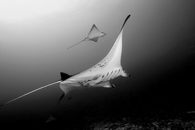 Manta ray with Spotted Eagle Rays