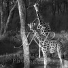 Africa's Giraffes at a watering hole in black and white