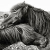 Two Icelandic horses grooming eachother, in black and white