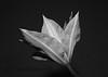Clematis Flower 19BW