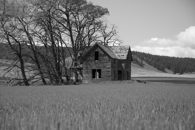 Abandoned farmhouse in wheat field.