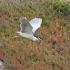 Black-crowned night heron bringing nesting material to nest