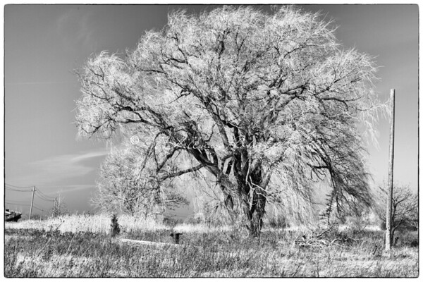Lone Tree_1