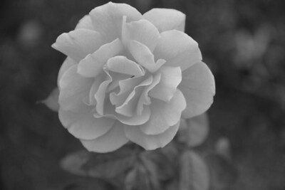 B & W rose, Lakeview Park, Lorain, OH