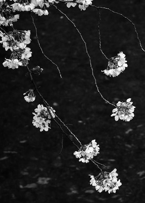 Cherries (sakura) on the Takase River, Kyoto.