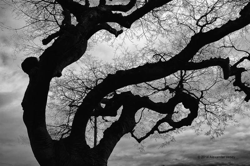 Tree, Kamakura