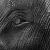 Eye of an elephant (b&w)