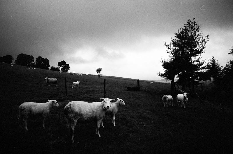 Moutons à Fancheumont - F100, 24mm et Tmax100