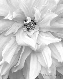 This was an amazing flower I saw while visiting the San Francisco Botanical Gardens, which are spectacular. The SFBG had plant life exhibits from all over the world. I like the playfulness of this shot in the black and white format.