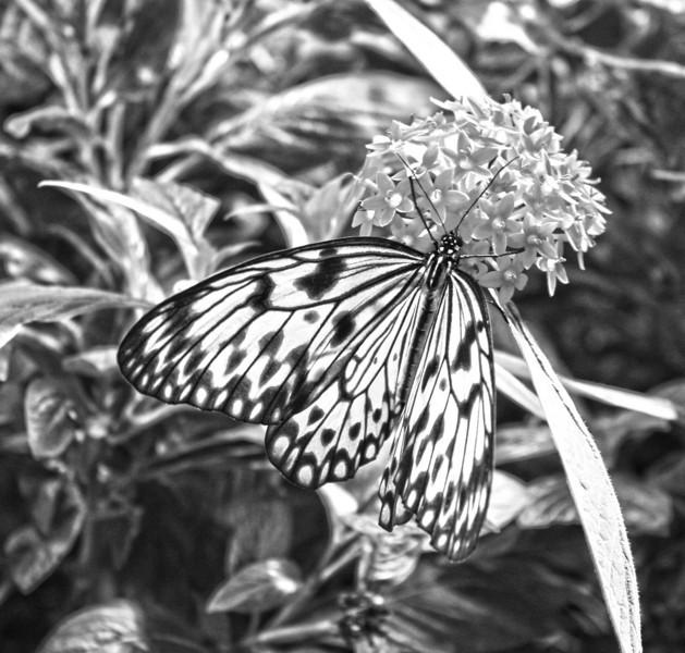 Paper Kite (Idea leuconoe) butterfly.