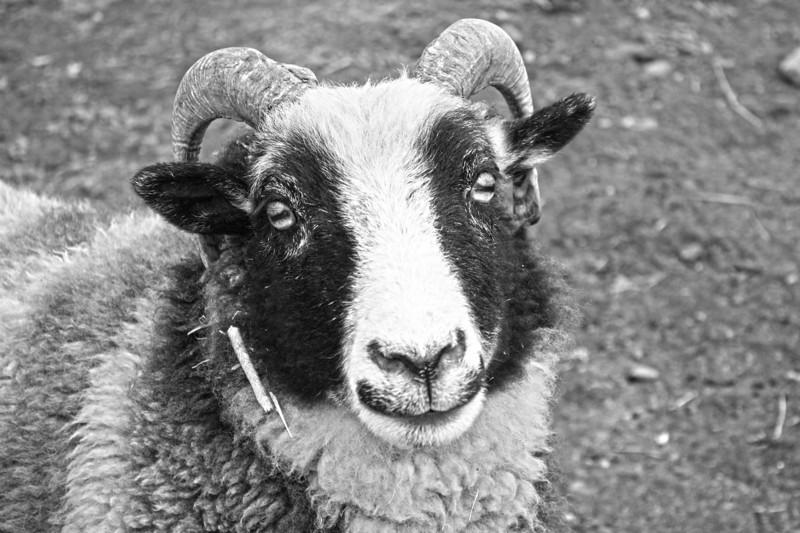 Jacob Sheep. Sweet things!
