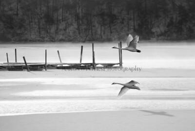 Christmas Morning Swans 2013