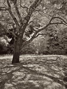 Tree Shadows, UCSC
