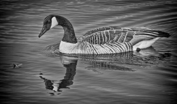 Female Canadian Goose - Snail Lake, Shoreview, Mn. #0332
