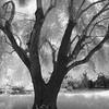 Olive Tree, Filoli Gardens
