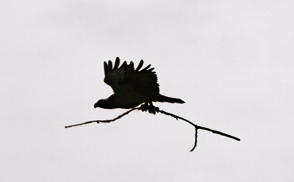 Female Osprey, St. Paul, Minnesota   - #0016