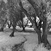 Winding Path through the Olive Orchard