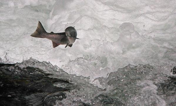 Salmon on the Kenai River, Alaska - #0121