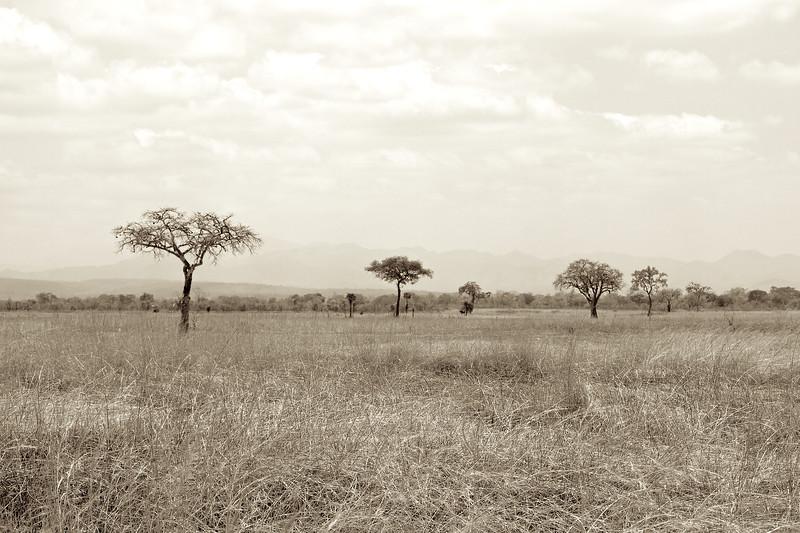 Acacia trees on the savannah