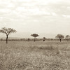 Acacia trees on the savannah
