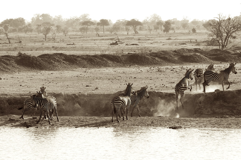 The zebras are very careful and at the first sign of unusual movement or sound they run