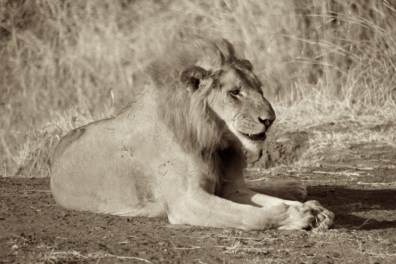 One of the older male lions