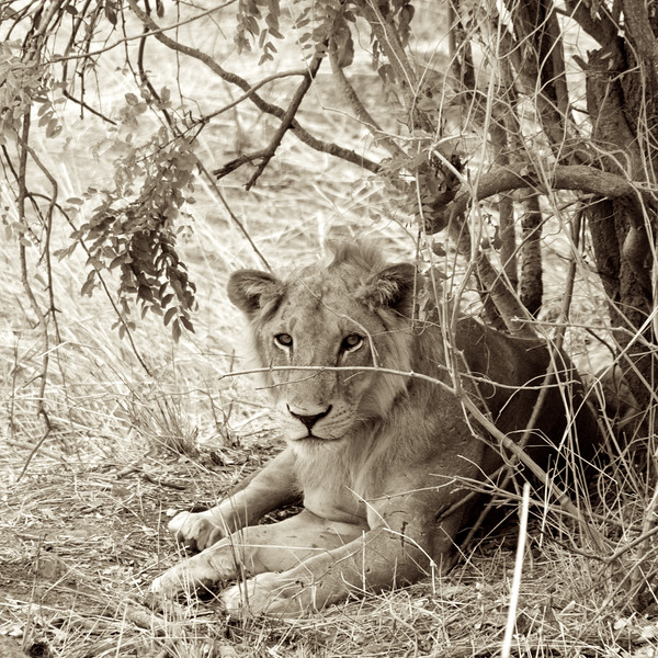 A young male lion staying cool under a bush