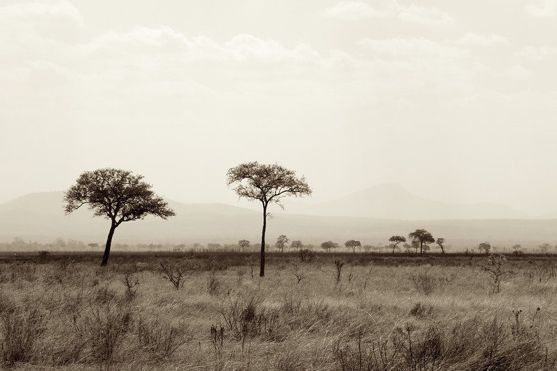 Acacia trees on the savanna on a hot and humid day in the early spring at the end of the dry season