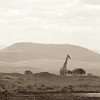 The giraffes keep watch at the water hole.  They each cover a different direction.
