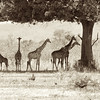 Giraffes trying to stay cool in the shade of a tree.  They work in teams and each one keeps watch in a different direction