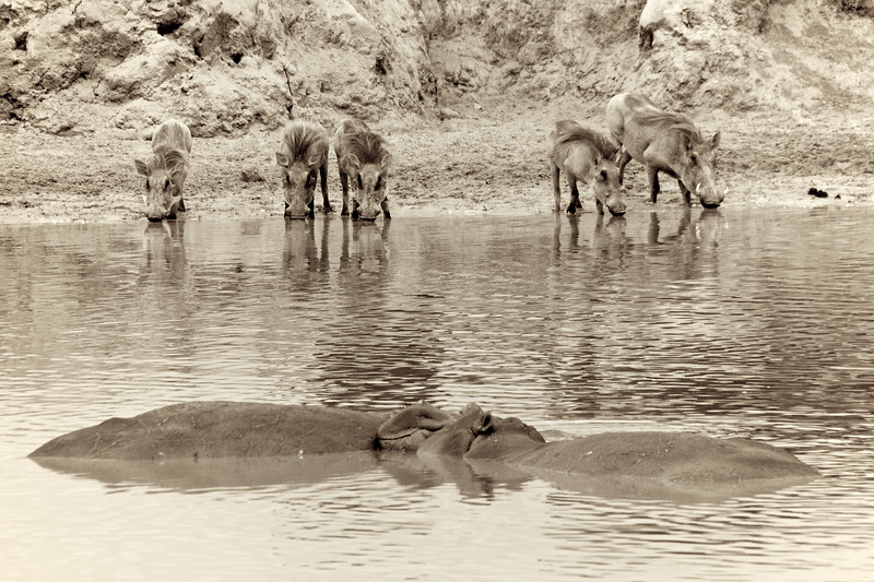 Warthogs and a smiling hippo