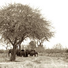 A herd taking a break under a tree in the scorching heat on their way to the watering hole