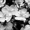 Apple blossoms, Denver Botanical Gardens