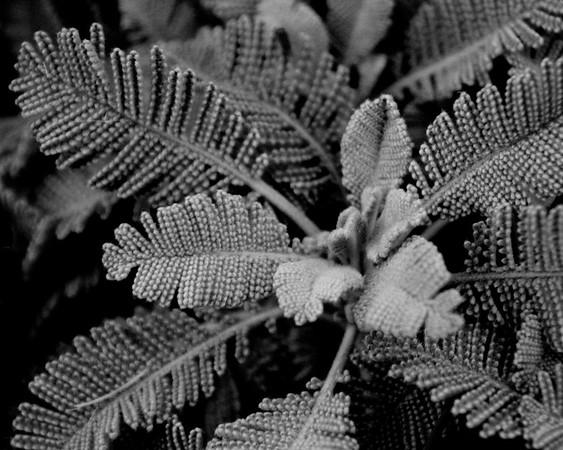 Partridge Feather Tanaceatum