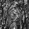 Cypress Tree Tunnel (b/w)
