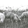 Schafe mit ♡-Kennzeichnung