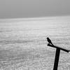 Turmfalke (Falco tinnunculus) • Die Ostspitze Madeiras • die Halbinsel Ponta de São Lourenço