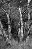 White Poplar Trees