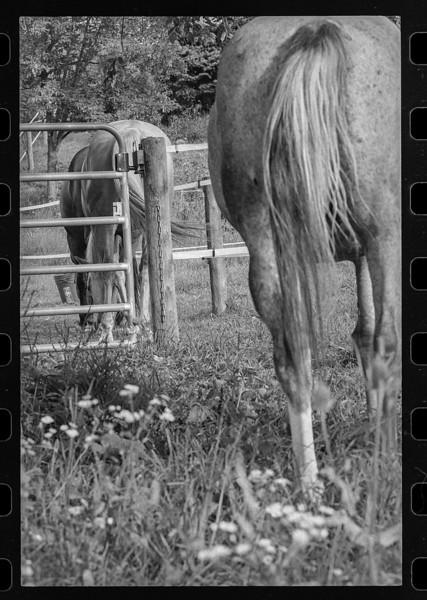 Horses' asses