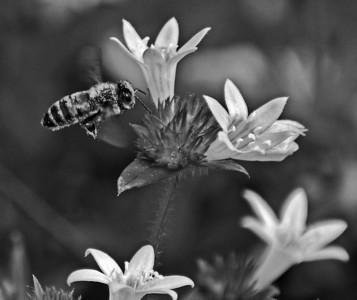 Bees & Wasps bw