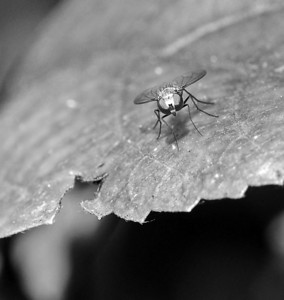 Common Flies bw