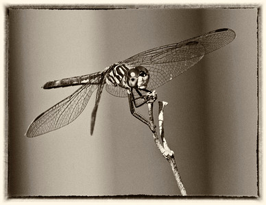 Dragonflies bw